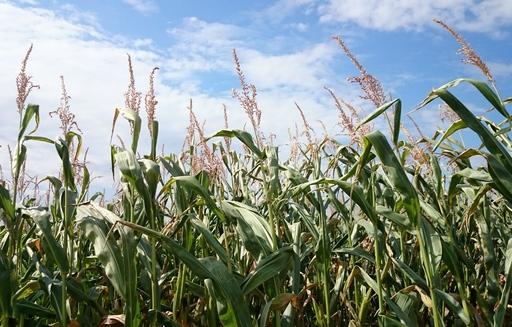 Notowania zbóż i oleistych. Po ośmiu spadkowych sesjach kontrakty na zboża odbiły w górę (1.09.2016)