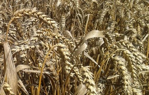 Podsumowanie tygodnia na giełdowym rynku zbóż (20-24.06.2016)