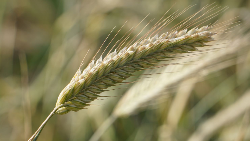 Ceny zbóż na giełdach towarowych (1.12.2019)