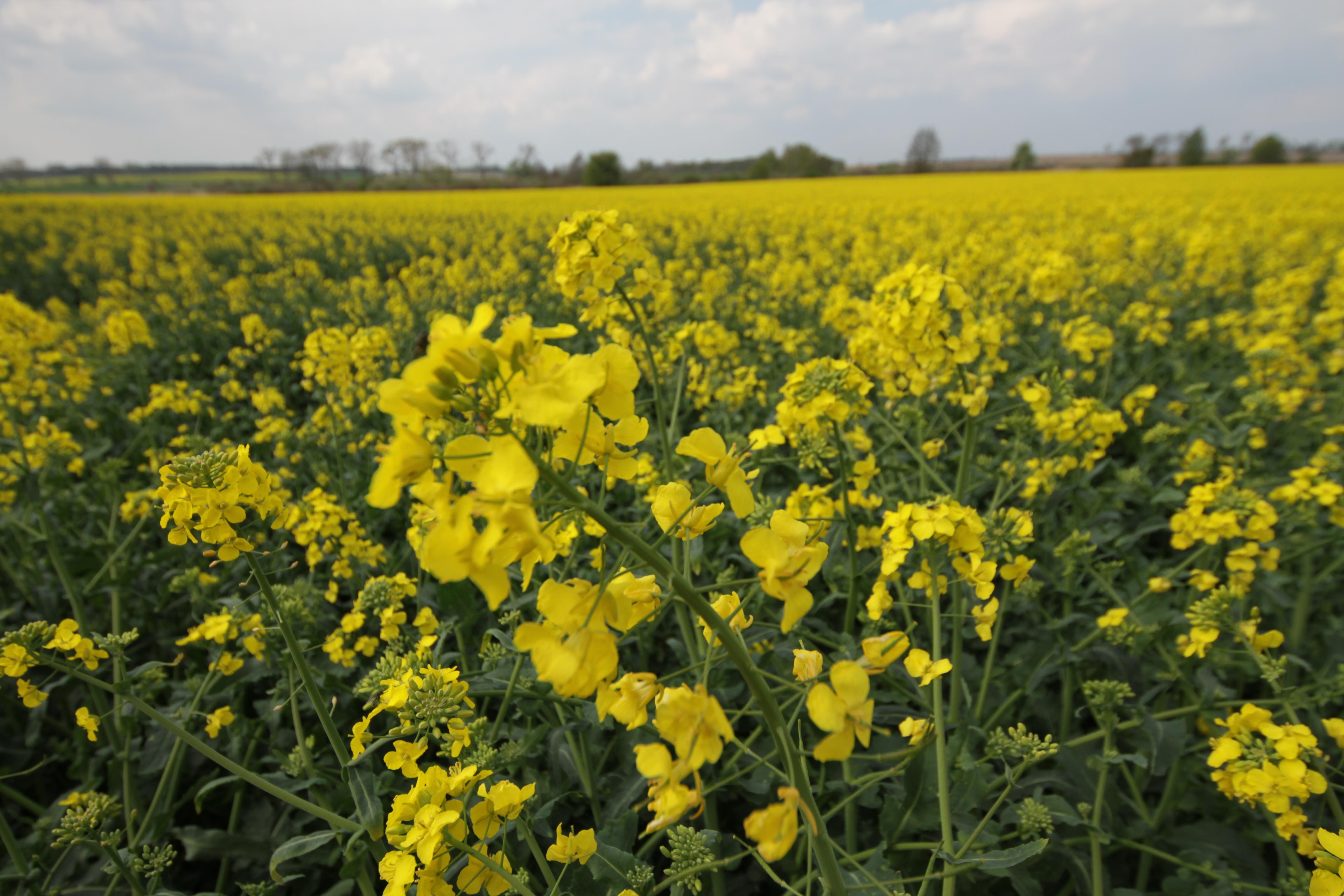 Notowania zbóż i oleistych. Ropa drożeje po decyzji o ograniczeniu wydobycia. Rzepak najwyżej od 2,5 roku (30.11.2016)