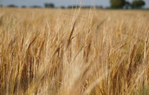 Ceny zbóż na giełdach towarowych (27.08.2017)