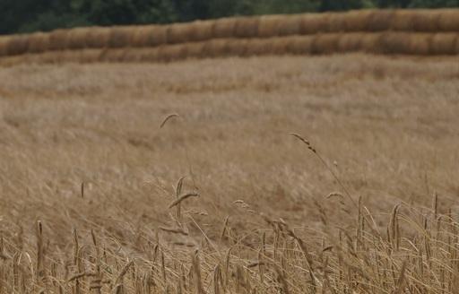 Rynek zbóż w Polsce i na świecie (11-17.08.2014)