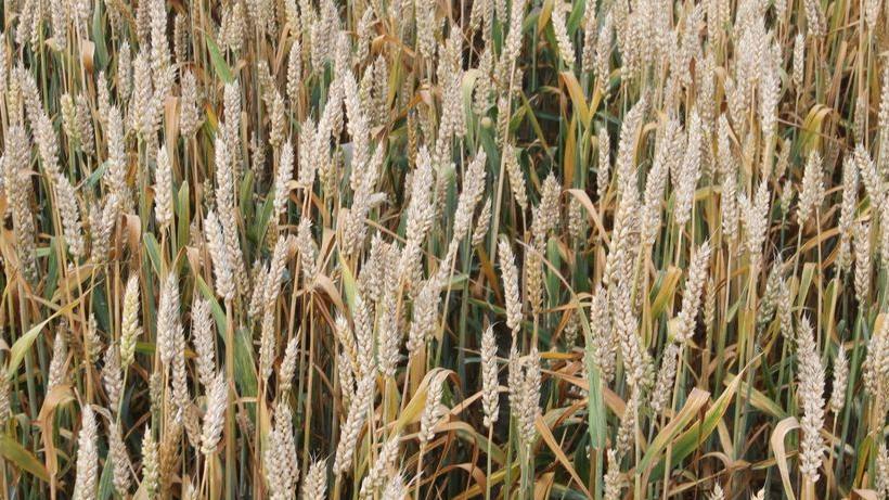 Ceny zbóż na giełdach towarowych (02.09.2018)