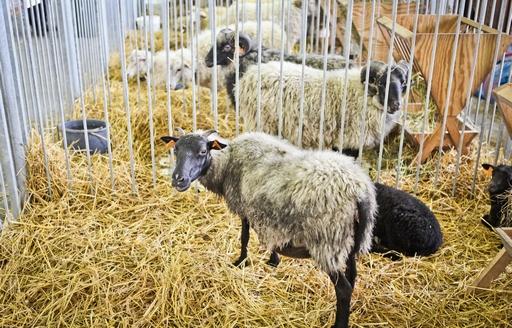 Ceny referencyjne wieprzowiny, wołowiny i baraniny w Polsce i UE (13.11.2016)