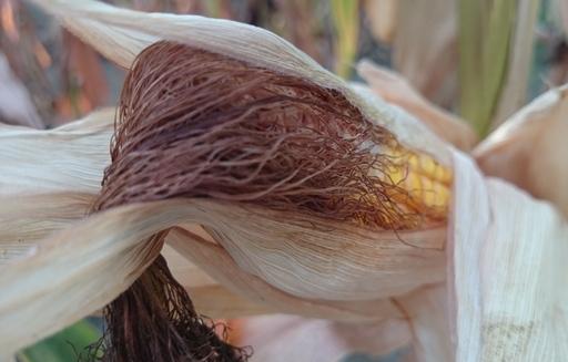 Niewielkie spadki notowań zbóż