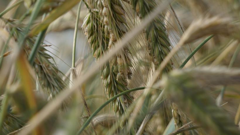Rynek zbóż w kraju i na świecie (21.08.2016)