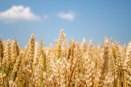 Pszenica konsumpcyjna i kukurydza znów w górę