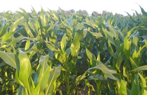 Ceny zbóż na giełdach towarowych (18.06.2017)