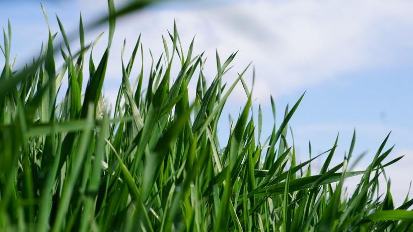 Krajowe zbiory zbóż