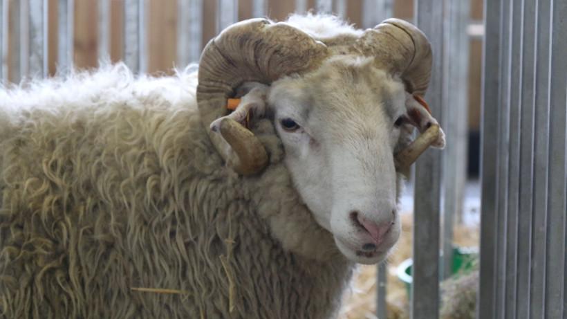 Wzrost produkcji mięsa owczego
