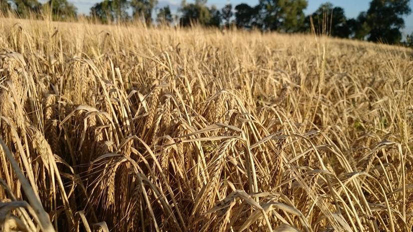 Ceny zbóż na giełdach towarowych (03.03.2019)