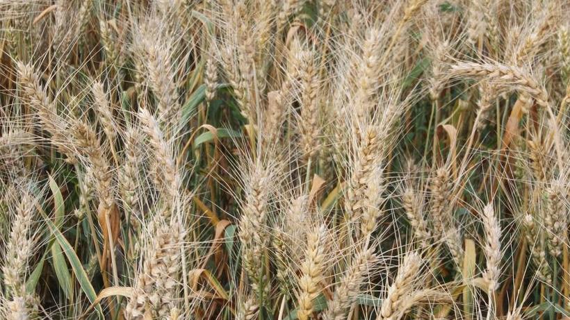 Rynek zbóż w kraju (02.09.2018)