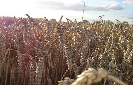 Rosyjska pszenica ponownie najtańsza w dostawach do Egiptu
