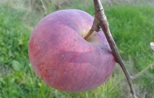 Rośnie zainteresowanie konsumentów spoza UE polskimi jabłkami