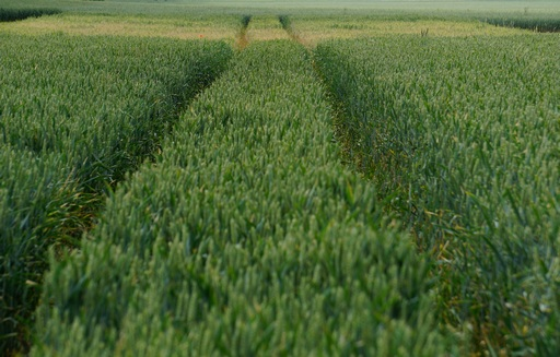 Notowania zbóż i oleistych. Kontrakty na zboża i oleiste odbiły w górę (19.05.2017)