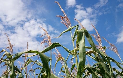 Najlepiej sprzedają się pszenica i kukurydza do portów
