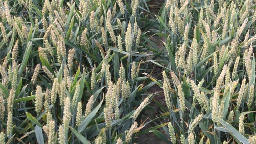 Unijny eksport pszenicy stanowi tylko 44% zakładanego w ostatniej prognozie USDA
