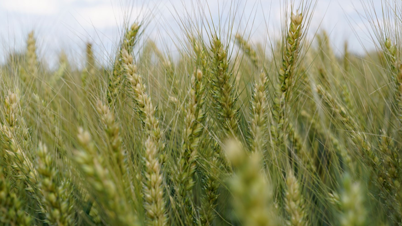 Krajowe ceny skupu zbóż