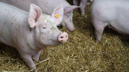 Ceny żywca wołowego, wieprzowego i drobiowego (04.10.2020)