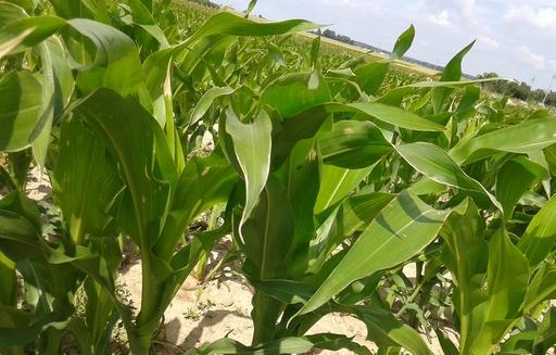 Notowania zbóż i oleistych. Wtorek zakończył się sporymi wzrostami na giełdowym rynku zbóż i oleistych (8.11.2016)