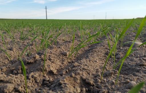 Notowania zbóż i oleistych. Zapasy pszenicy w USA są najwyższe od 30 lat (30.09.2016)
