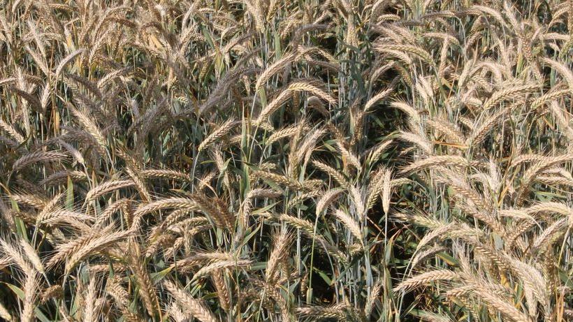 Ceny zbóż (25.07.2021)