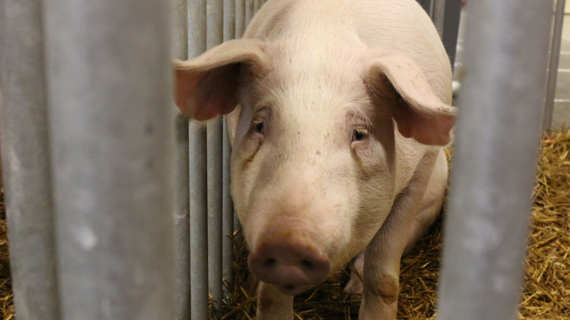Ceny żywca wołowego, wieprzowego i drobiowego (02.09.2018)