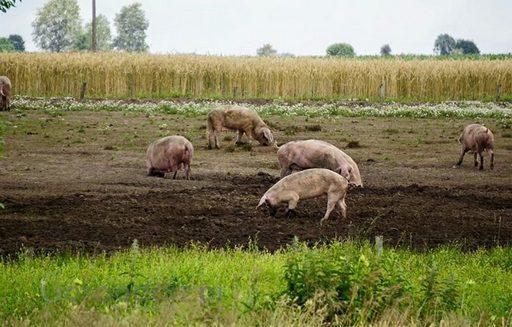 Rynek mięsa w Polsce (31.07.2016)