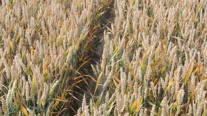 Rynek zbóż w kraju (1.04.2018)