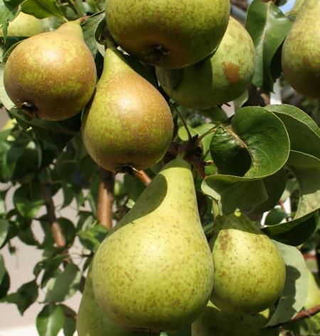 Ceny jabłek i gruszek w Polsce (20.11.2016)