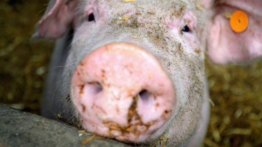 Ceny żywca wołowego, wieprzowego i drobiowego (21.06.2020)
