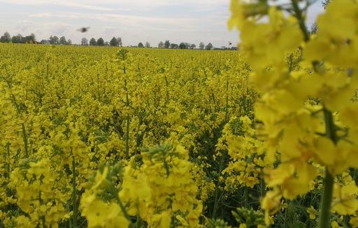 Notowania zbóż i oleistych. Maksima notowań rzepaku, pszenica najtańsza od miesięcy (5.12.2016)