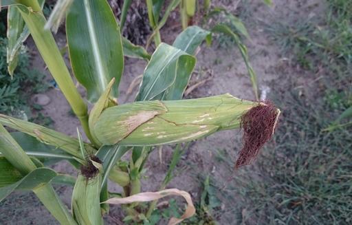 Podsumowanie tygodnia na giełdowym rynku zbóż (14-18.09.2015)