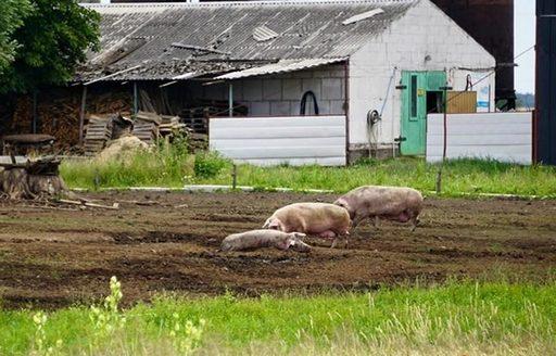 Ceny żywca wieprzowego, wołowego, drobiowego w Polsce (3.07.2016)