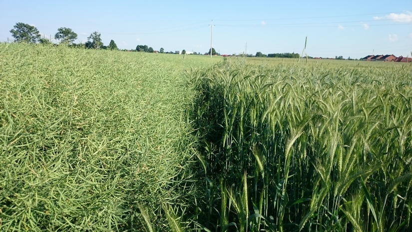 Rzepak drożeje śladem olejów roślinnych, ale kukurydza notuje swoje długoterminowe minima