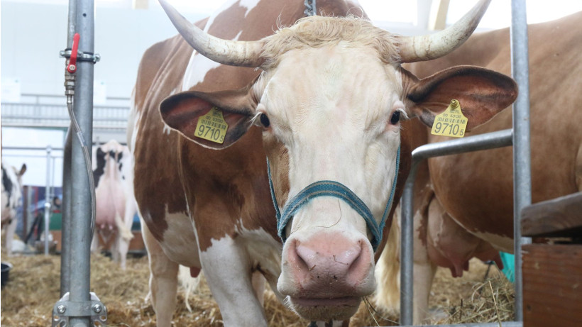 Ceny bydła na targowiskach (22.09.2017)