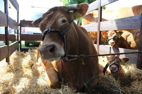 Ceny bydła i wołowiny