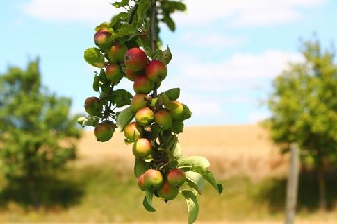 Ceny jabłek i gruszek w Polsce (14.06.2016)