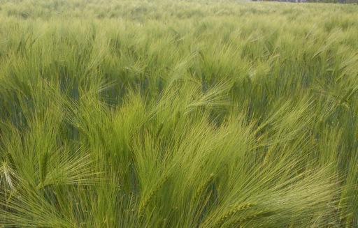 Ceny zbóż na giełdach towarowych (12.06.2016)