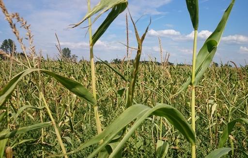 Notowania zbóż i oleistych. Kontrakty w Chicago wróciły w okolice wieloletnich minimów (15.07.2016)
