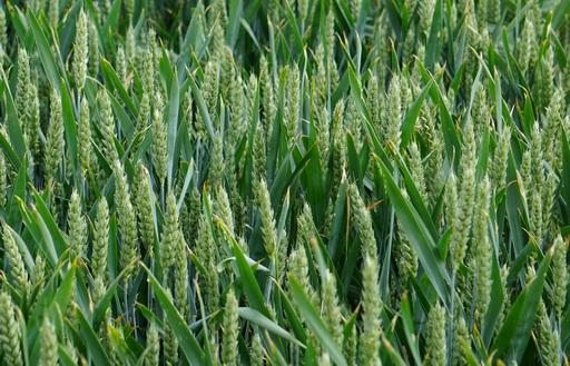 Notowania zbóż i oleistych. Przecena kontraktów na zboża i kompleks sojowy w Chicago. Unijny rzepak i kukurydza zyskały na wartości (27.01.2017)