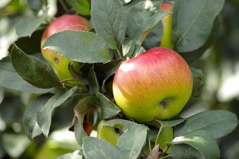 Ceny jabłek w Polsce są najniższe od 10 lat!