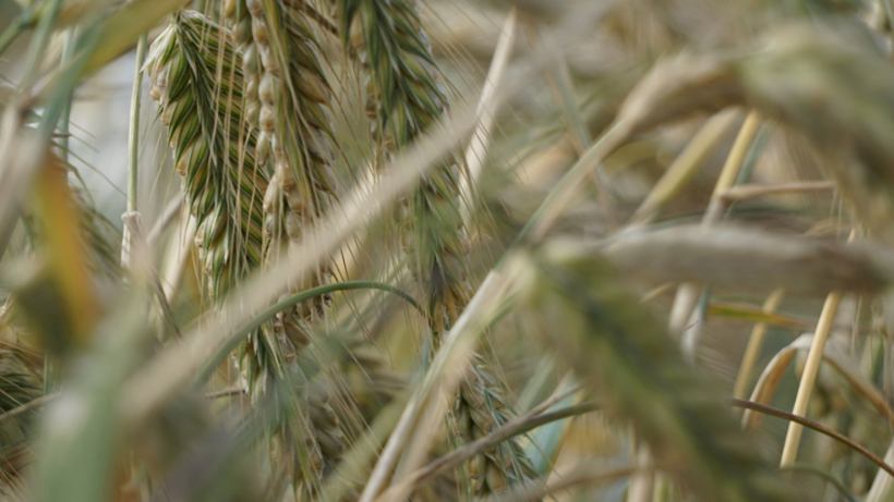 Ceny zbóż na giełdach towarowych (19.04.2020)