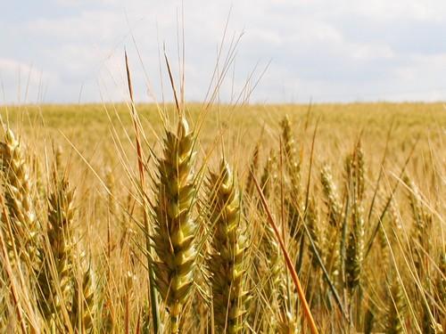 Ceny zbóż w Polsce na tle innych krajów UE (09-15.02.2015)