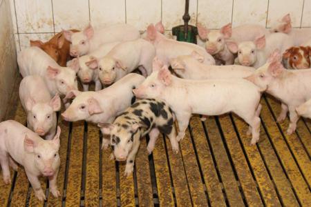 Ceny żywca wołowego, wieprzowego i drobiowego (5.03.2017)