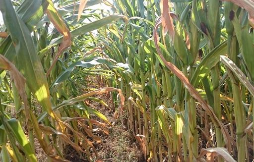 Notowania zbóż i oleistych. Tydzień zaczął się od silnych spadków kontraktów na zboża i soję w USA (26.09.2016)