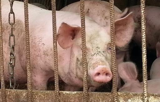 Ceny skupu świń rzeźnych (21.05.2017)