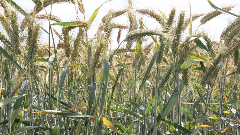Rynek zbóż w kraju i na świecie (04.09.2016)
