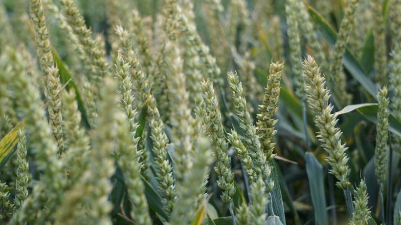 Deszcze na południowych równinach USA spychają w dół notowania pszenic