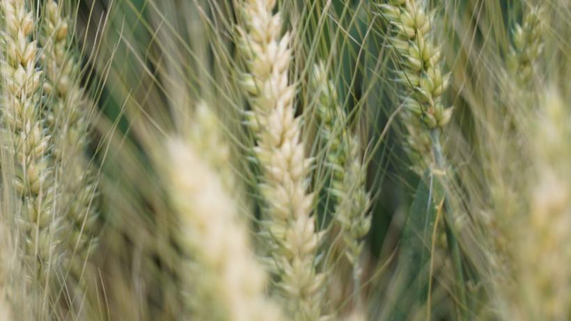 Rynek zbóż w kraju (8.03.2020)